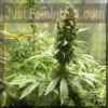 Female Neville's Haze Feminized 4 Marijuana Seeds